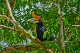 The Rhinoceros Hornbill : Malaysia's National Bird: https://zoomologyblog.wordpress.com/2017/05/21/the-rhinoceros-hornbill-malaysias-national-bird/