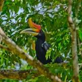 The Rhinoceros Hornbill : Malaysia's National Bird: https://zoomologyblog.wordpress.com/2017/05/21/the-rhinoceros-hornbill-malaysias-national-bird/