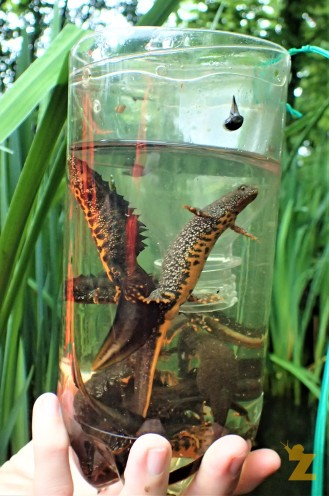 A good view of a male great crested newt (left) and a female great crested newt (right)