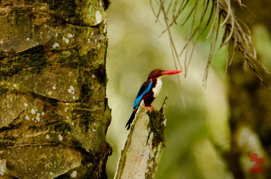Halcyon smyrnensis [WHITE THROATED KINGFISHER] Malaysia
