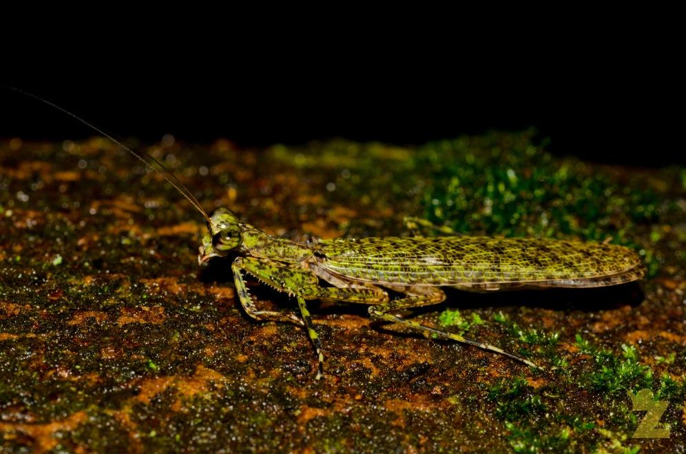 Mantodea [PREYING MANTIS] Mantis Malaysia