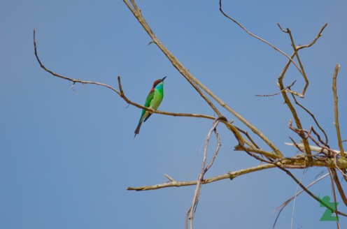 Merops viridis [BLUE-THROATED BEE-EATER] Malaysia