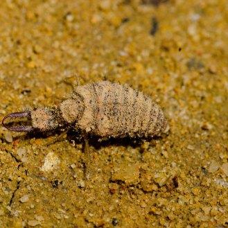 Myrmeleontidae [ANTLION] Malaysia