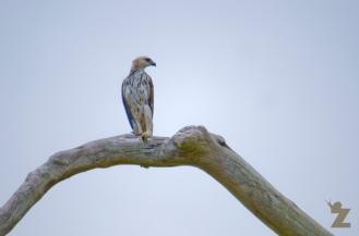 Nisaetus cirrhatus [CHANGEABLE HAWK EAGLE] Malaysia