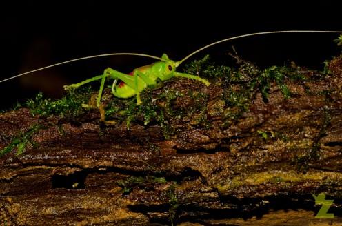Orthoptera [GRASSHOPPER] Malaysia