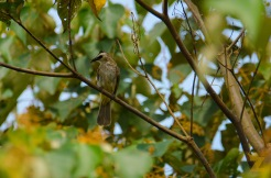 Passeriformes [BIRD] Malaysia