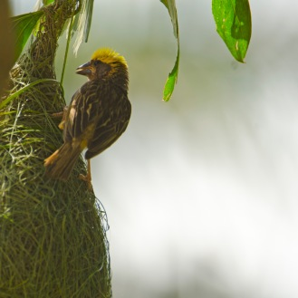 The Baya Weaver (One Way to Please Her: Become a Master Weaver): https://zoomologyblog.wordpress.com/2017/05/29/the-baya-weaver-one-way-to-please-her-become-a-master-weaver/