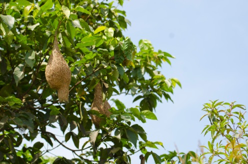 Ploceus philippinus [BAYA WEAVER] Malaysia........