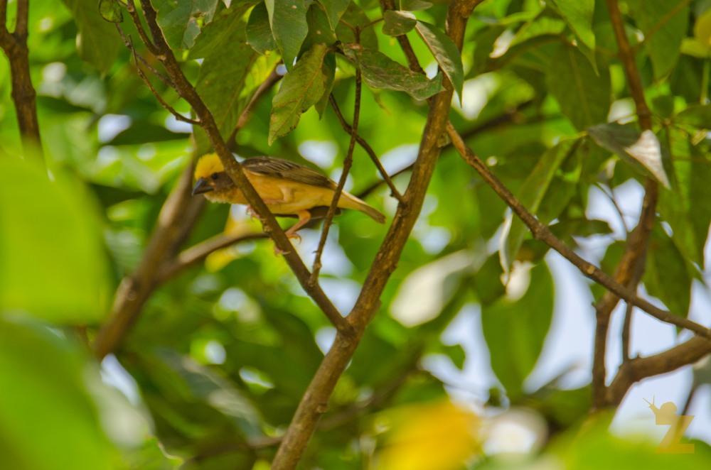 Ploceus philippinus [BAYA WEAVER] Malaysia.......
