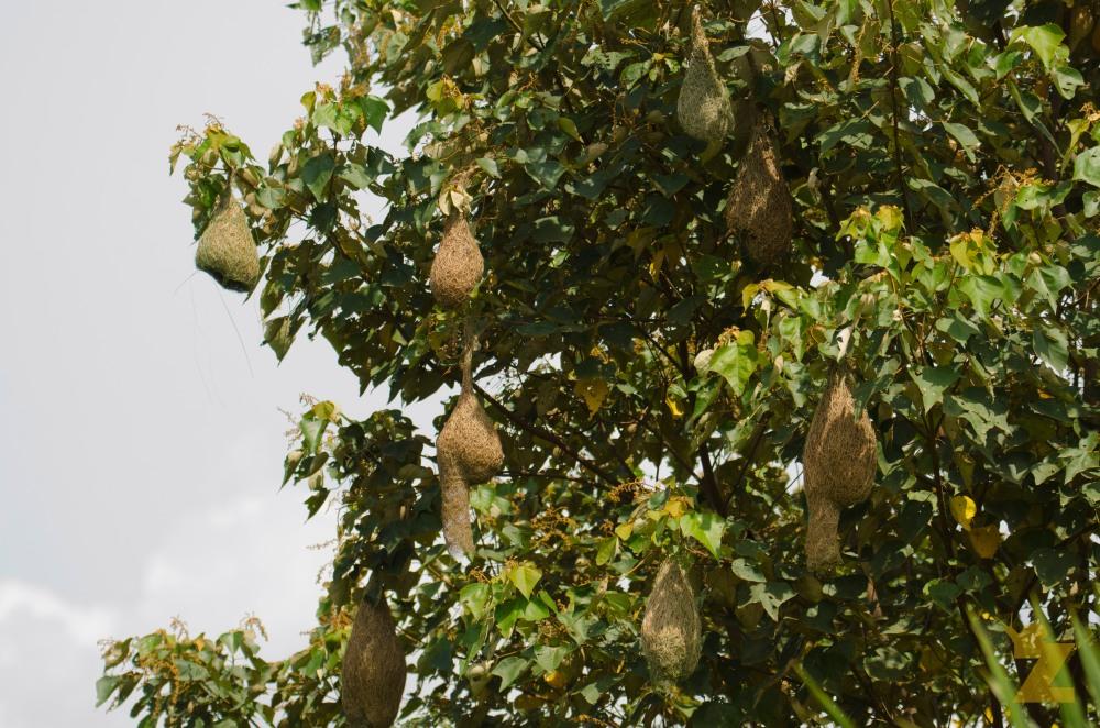 Ploceus philippinus [BAYA WEAVER] Malaysia.....