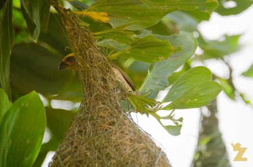 Ploceus philippinus [BAYA WEAVER] Malaysia....