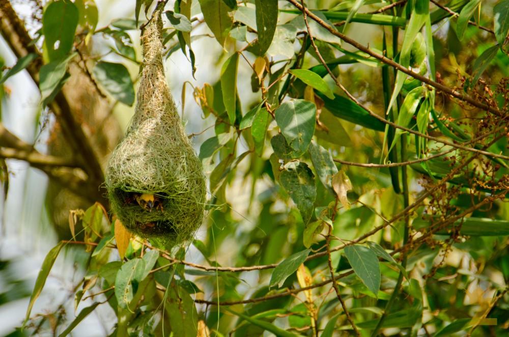 Ploceus philippinus [BAYA WEAVER] Malaysia...........
