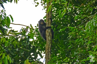 Presbytis femoralis [BANDED LEAF MONKEY] Malaysia