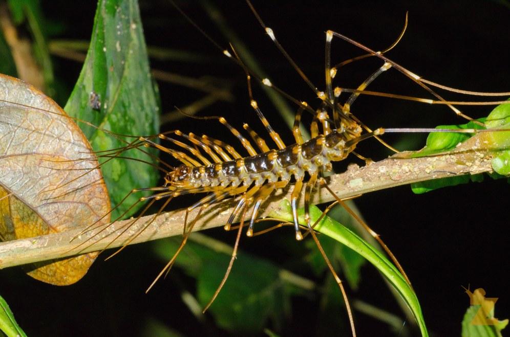 Scutigeridae [HOUSE CENTIPEDE] Malaysia