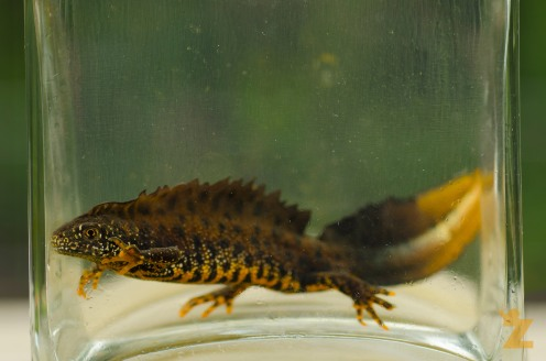 Male great crested newt (note the white flash on his tail)