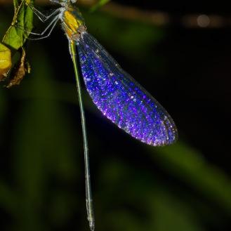 Zygoptera [DAMSEL FLY] Malaysia