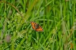 Aglais urticae [SMALL TORTOISESHELL] England, Cheddar 27.06.2017.jpg