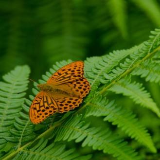 Argynnis paphia [SILVER-WASHED FRITILLARY] England, Cheddar 27.06.2017