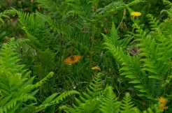 Boloria selene [SMALL PEARL-BORDERED FRATILARY] England, Cheddar 27.06.2017