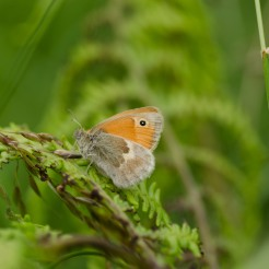 Coenonympha pamphilus [SMALL HEATH] England, Cheddar 27.06.2017