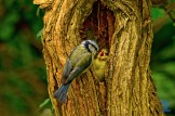 Blue Tits and Their Chicks: https://zoomologyblog.wordpress.com/2017/06/09/blue-tits-and-their-chicks/