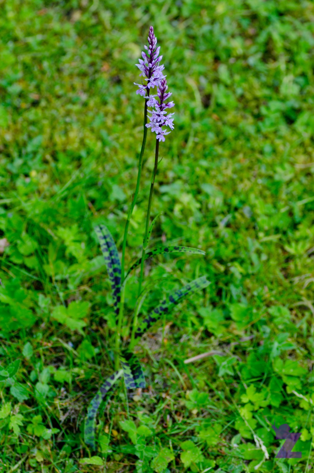 Dactylorhiza sp [MARSH & SPOTTED ORCHID] Backwell, England 17.06.2017 (2)