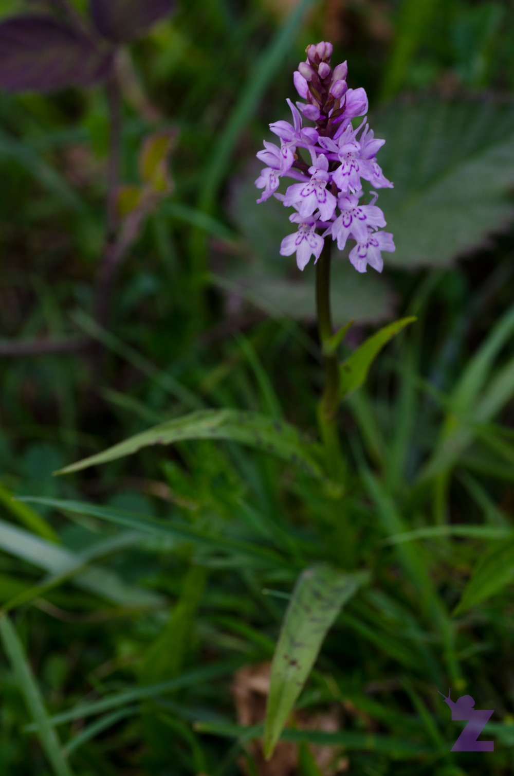 Dactylorhiza sp [MARSH & SPOTTED ORCHID] Weston-super-Mare, England 13.06.2017 (3)