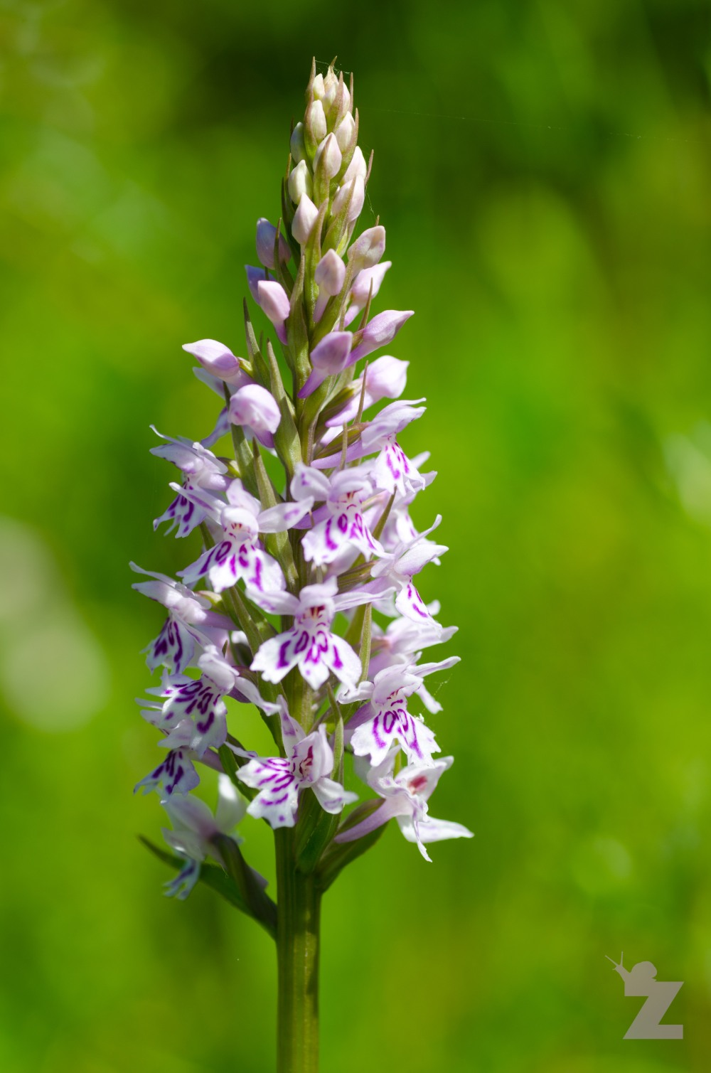 Dactylorhiza sp [MARSH & SPOTTED ORCHID] Weston-super-Mare, England 13.06.2017 (5)