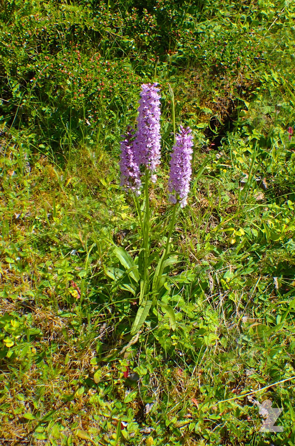 Dactylorhiza sp [MARSH & SPOTTED ORCHID] Weston-super-Mare, England 13.06.2017 (8)
