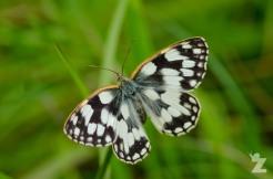 Melanargia galathea [MARBLED WHITE] England, Cheddar 27.06.2017 (1)