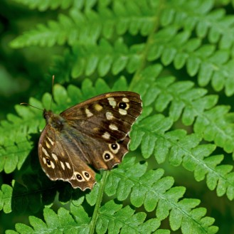 Pararge aegeria [SPECKLED WOOD] England, Cheddar 27.06.2017