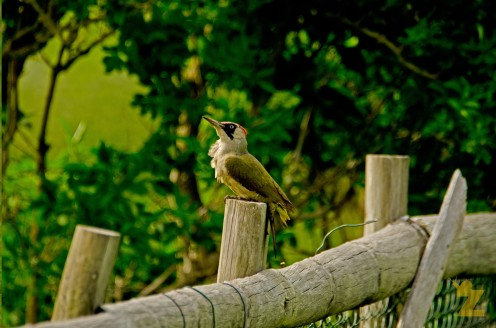 Green Woodpecker (Adult Female)