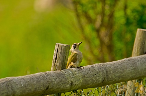 Picus viridis [EUROPEAN GREEN WOODPECKER] England, Kewstoke 22.05.2017 #3