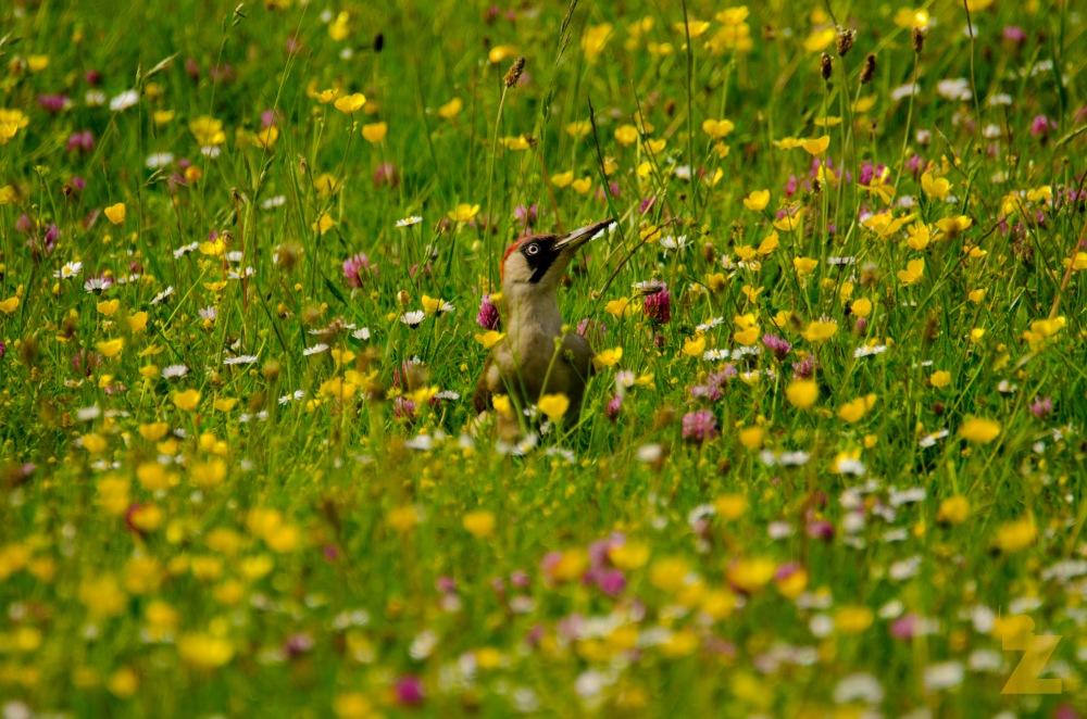 Picus viridis [EUROPEAN GREEN WOODPECKER] England, Kewstoke 22.05.2017 #6