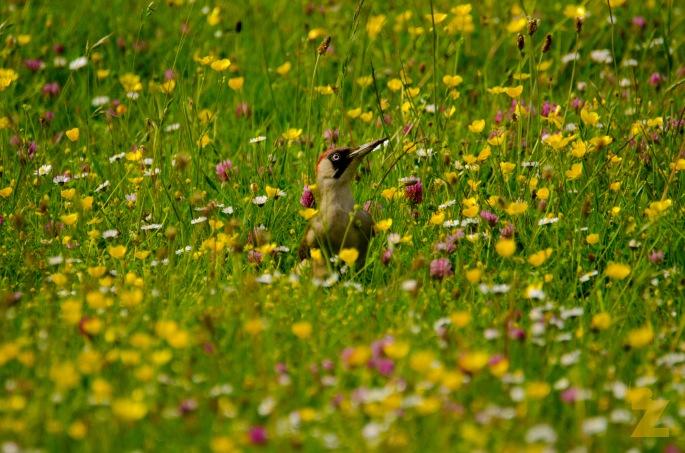 "The Green Woodpecker: Professor Yaffle Comes to Say, ""Hello!"": https://zoomologyblog.wordpress.com/2017/06/15/the-green-woodpecker-professor-yaffle-comes-to-say-hello/"