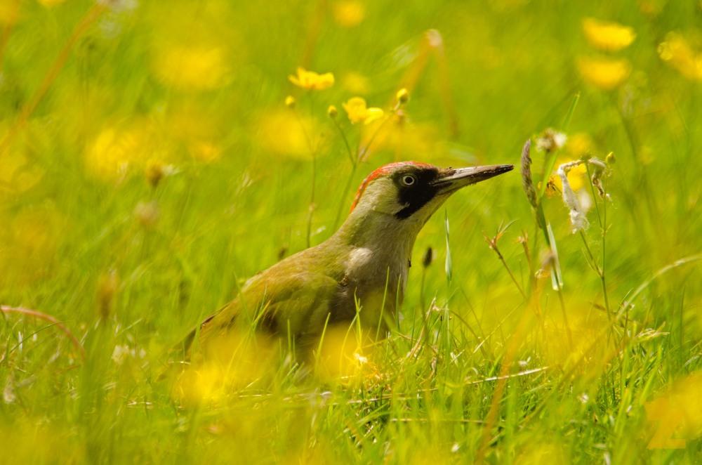 Picus viridis [EUROPEAN GREEN WOODPECKER] England, Kewstoke 22.05.2017 #9