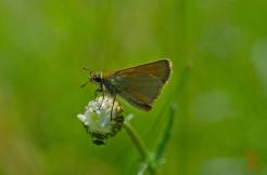 Thymelicus sylvestris [SMALL SKIPPER] England, Cheddar 27.06.2017.jpg