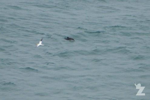 A gannet and a porpoise!