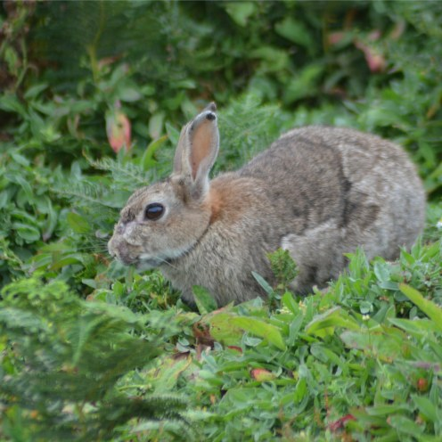 Rabbits were introduced to the island in the 13th century