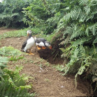 Puffins entering their burrows