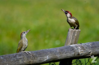 Our Local Green Woodpecker Family: https://zoomologyblog.wordpress.com/2017/07/14/our-local-green-woodpecker-family/