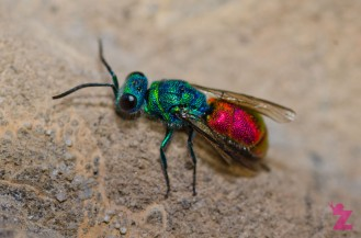 [RUBY-TAILED WASP] 06.07.2017 England, Kewstoke [1]
