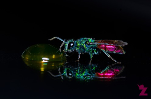 Ruby-tailed Wasp: Beautiful, But Deadly*: https://zoomologyblog.wordpress.com/2017/07/09/ruby-tailed-wasp-beautiful-but-deadly/