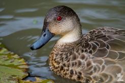 Anas gracilis [GREY TEAL] Virginia Lake, New Zealand 05-11-2017