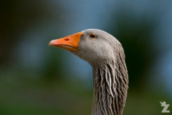 Anser anser [GREYLAG GOOSE] Virginia Lake, New Zealand 05-11-2017 (2)