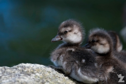 Aythya novaeseelandiae [NEW ZEALAND SCAUP CHICKS] Virginia Lake, New Zealand 05-11-2017