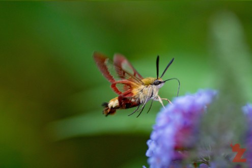 Broad-bordered Bee Hawk-moth (Hemaris fuciformis)