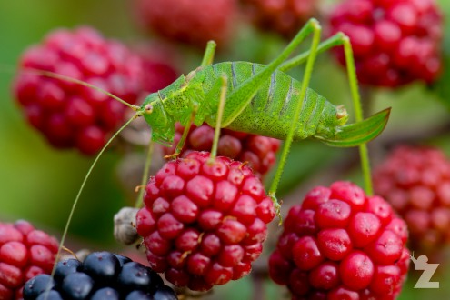 Putting a Face to a Sound: The Speckled Bush-cricket: https://zoomologyblog.wordpress.com/2017/08/31/putting-a-face-to-a-sound-the-speckled-bush-cricket/