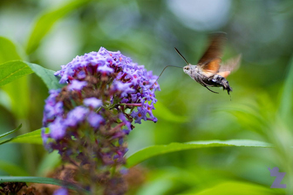 Macroglossum stellatarum [HUMMINGBIRD HAWK MOTH] Goizueta, Basque Country 31.07.2017 #1