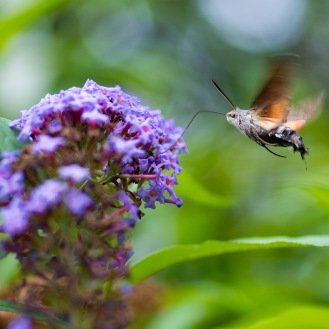 Sphingids of Spain: Is That a Hummingbird? No, It's a Hawk-moth!: https://zoomologyblog.wordpress.com/2017/08/07/sphingids-of-spain-is-that-hummingbird-no-its-a-hawk-moth/